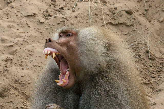 yawning  baboon by Jeroen van Luin (ccby)