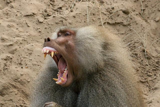 yawning  baboon by Jeroen van Luin (ccby)